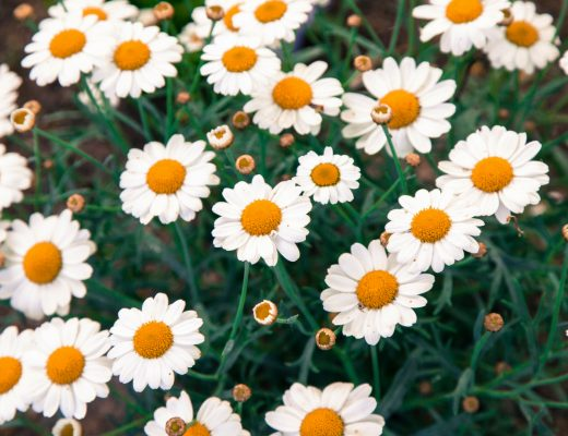 daisies - how to make a daisy chain