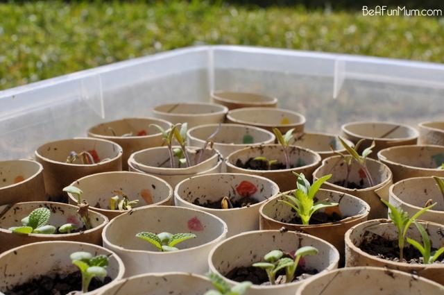 growing herbs from seeds using toielt rolls