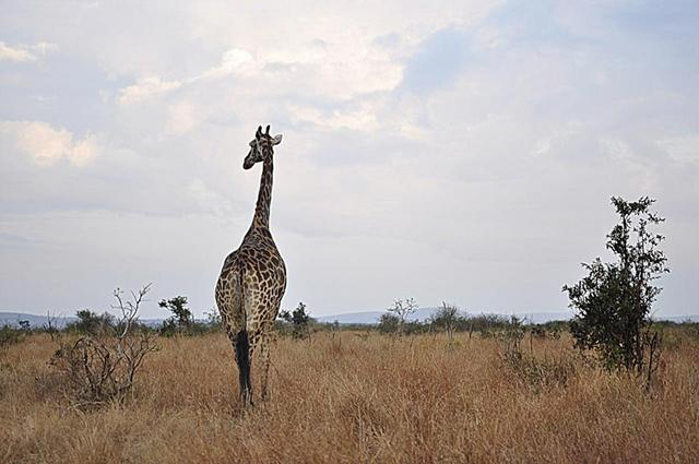 Kruger National Park - South Africa - Giraffe