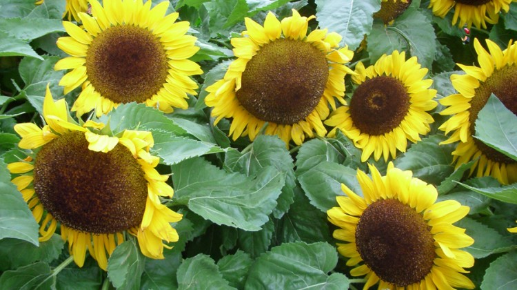 Sunflower Seed Bomb Gifts & Party Favours